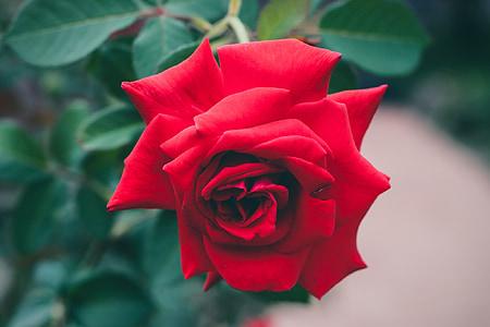κόκκινα τριαντάφυλλα, Κήπος, τ ' αγκάθια, λουλούδια, χλωρίδα, φυτά, φύλλα