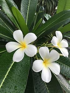 Plumeria, Champa, Floral, knipsel, Backlit, versheid, vers