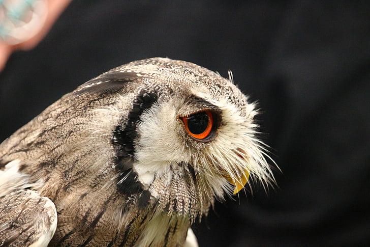 bird, owl, screech owl, raptor, bird of prey, wild bird