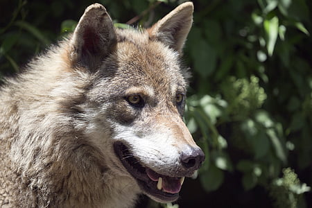 european wolf, alpha male, intelligent, focused, wolf, carnivore, animal
