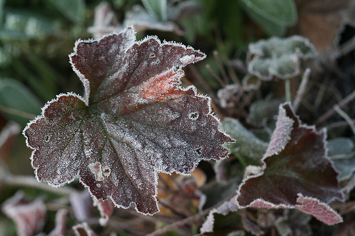 leaf, ice, hoarfrost, frozen, nature, leaves, cold