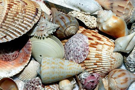 conquilles, closca, closca de platja, patrons, disseny, col·leccionista, oceà