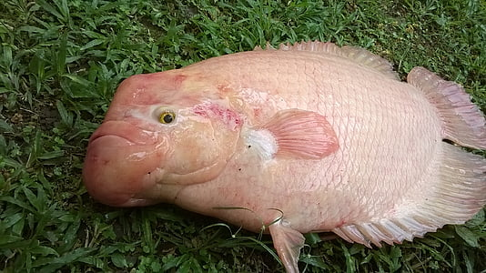 fish, fish tilapia, parrot fish