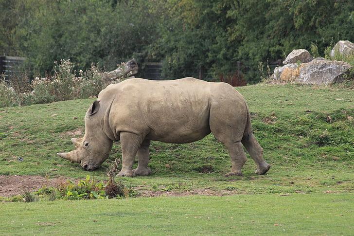 rhino, animal, zoo, rhinoceros, africa