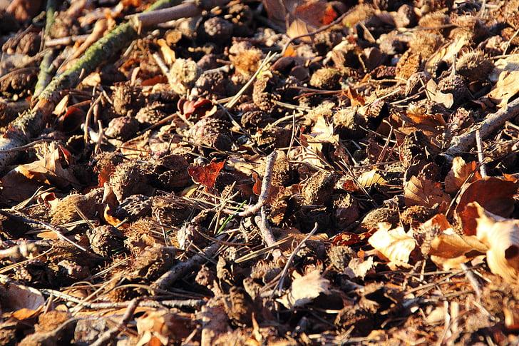 bukev matice, bukev, gozdnih tleh, sadje, sadje stroki, beechnut, sadje