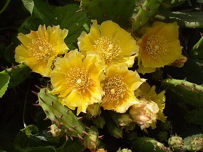 cactus, cactus flower, yellow cactus flower