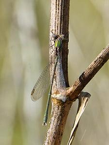libèl·lula, libèl·lula verd, romaní, insectes alats, calopteryx xanthostoma