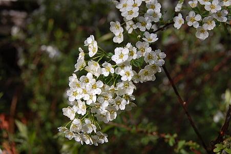 flors, blanc, primavera, flor, flors blanques, esplendor blanc, planta