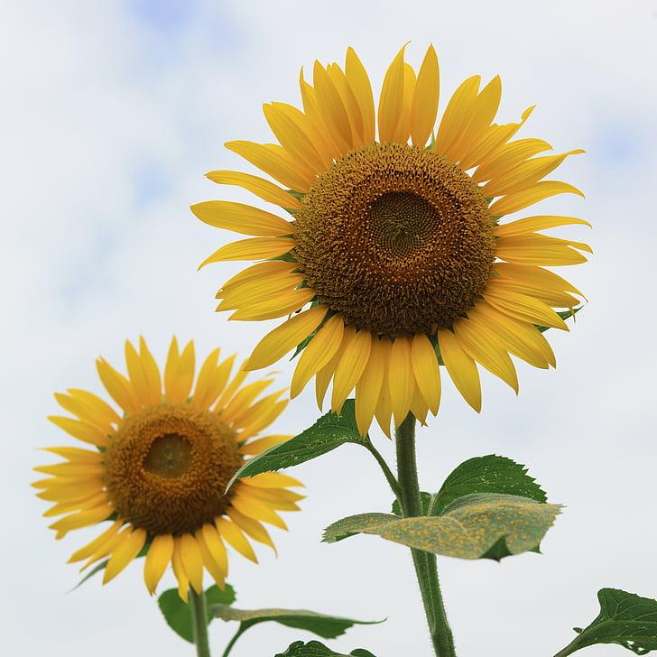 Slnečnica, letné kvety, kvety