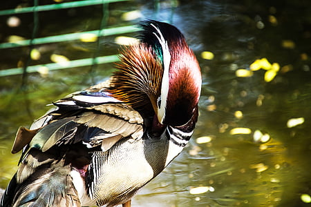 mandarin ducks, mandarin duck, bird, ducks