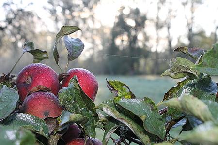 Apple, Rosy, Zelená, dewdrop, listy, mokré, morgentau