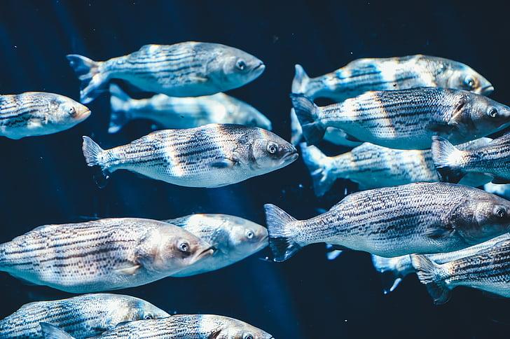 สัตว์, อย่างใกล้ชิด, ปลา, ปลา, โรงเรียนของปลา, ใต้น้ำ, น้ำ