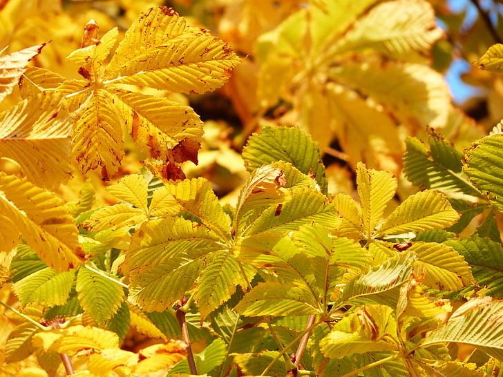 rudens lapas, zelta, stari, gaisma, dzeltena, dzelteni zaļa, rudens krāsas