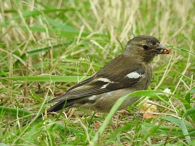 врабче, птици, природата, малка птичка, пера, цветни пера, орнитология