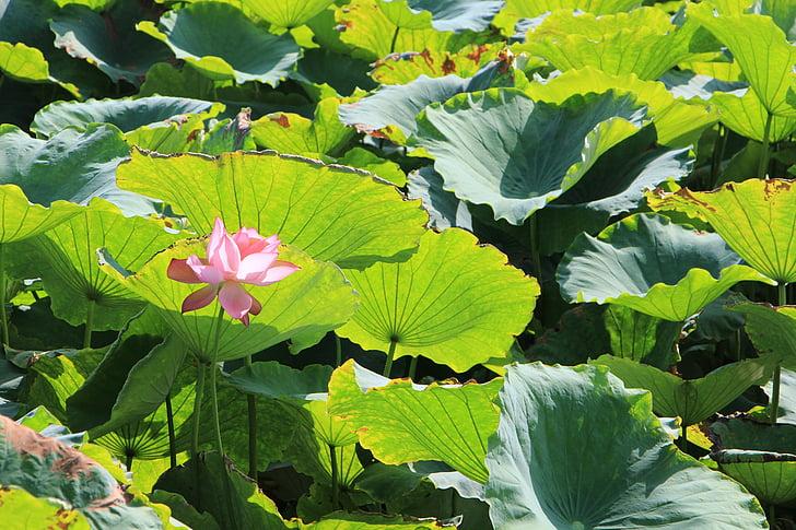 lotus, lotus pond, lotus leaf