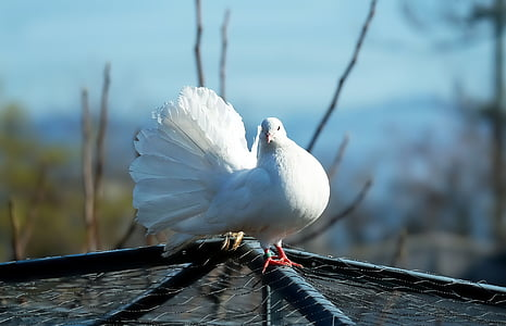Dove, valkoinen, lintu, Kaunis, romanttinen, Luonto, eläinten