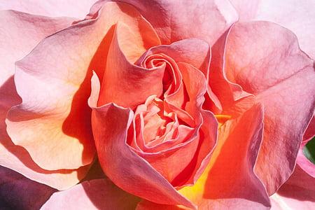 Rosa, taronja, groc, salmó, flors, l'estiu, flor