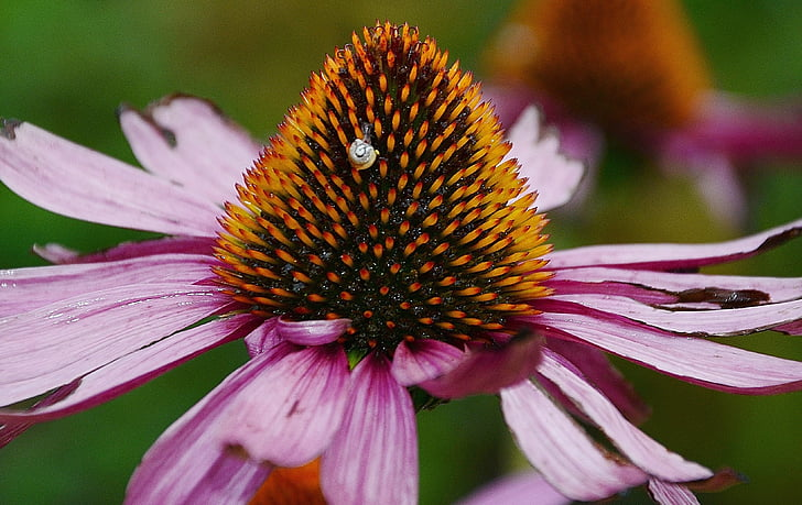 bloom, colorful, coneflower, detail, echinacea, flora, flower