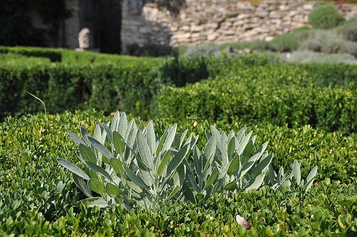 sábio, ervas medicinais, Montana, planta, plantas, natureza, planta de jardim