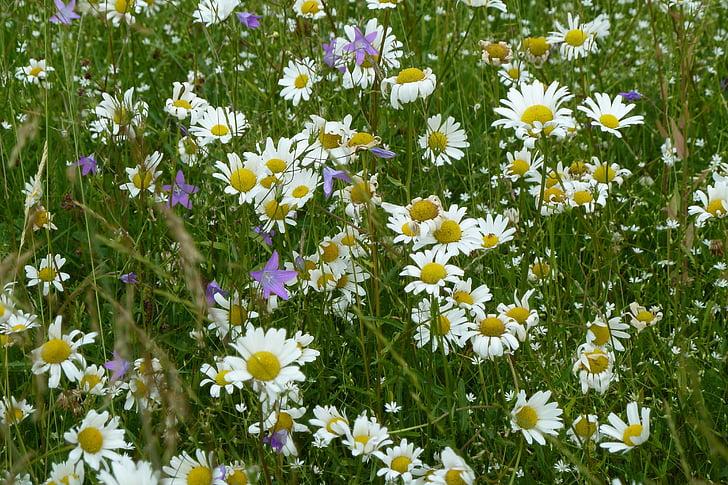 daisies, summer, white, meadow, summer meadow