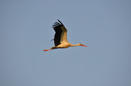 stork, sky, bird, birds, flight, ali, animal
