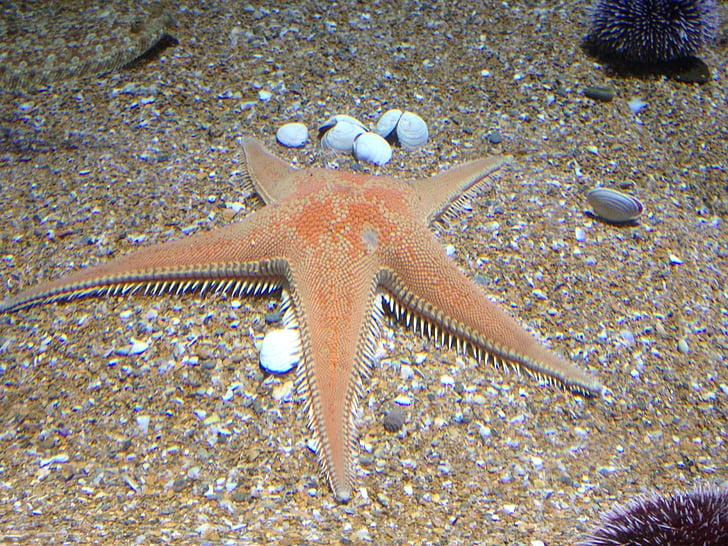 étoile de mer, sable, Aquarium, vie marine, un animal, mer, sous l'eau