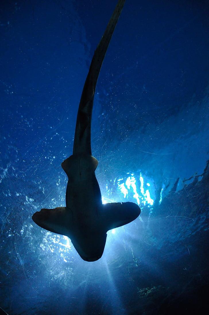 shark, fish, hammerhead shark, aquarium, bangkok, thailand