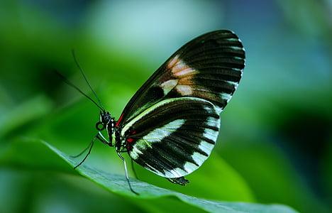 Papilio, rumanzovia, pillangó, állat, fekete, zöld, levél