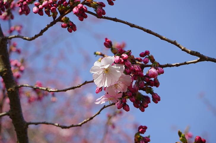 Jaapani Kirsipuud, õis, Bloom, valge, roosa, Bud, filiaali
