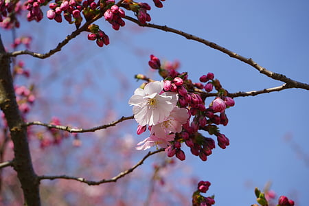 japanese cherry trees, blossom, bloom, white, pink, bud, branch