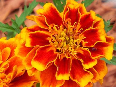 annual, marigold, plant, yellow, garden, flower, blossom