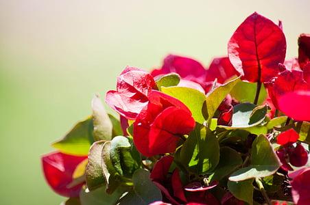 꽃, 부겐빌레아, 꽃잎, 그린, 공장, 플로 라, 아름다움