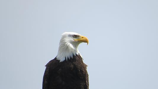 Eagle, natuur, vogel, Wild, Predator, Dom, hoofd