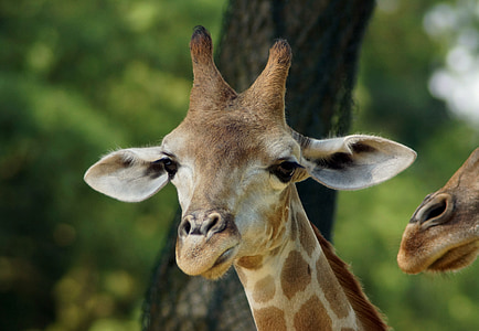 giraffe, young animal, close, head, animal