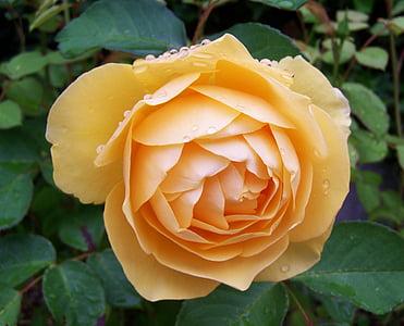 kollased roosid, Suvine lill, lilleaed