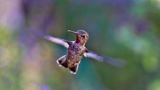 kolibrie, vliegen, vogel, natuur, vleugel, dieren in het wild, dier