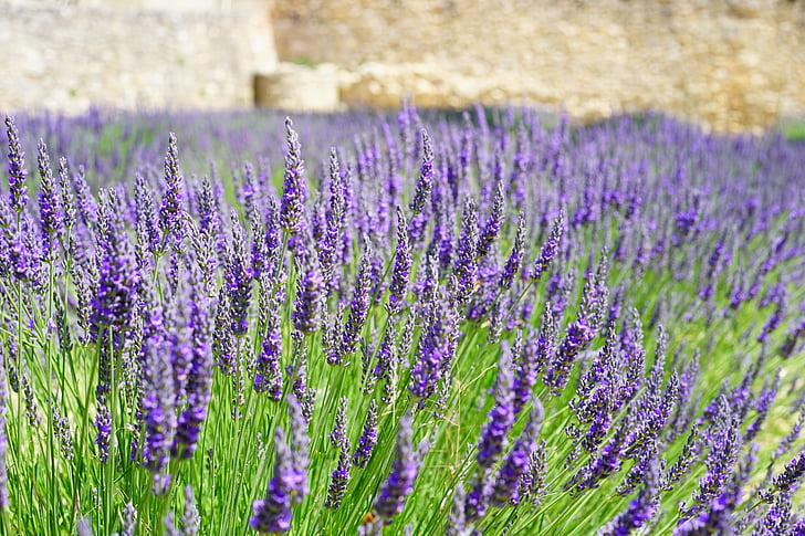 lavanda, flors, blau, camp de lavanda, flor d'espígol, cultiu d'espígol, l'agricultura