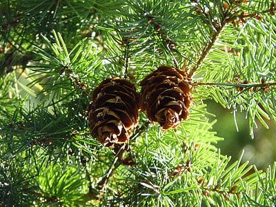 pine cones, douglas tap, douglas, spruce, tap, conifer, forest