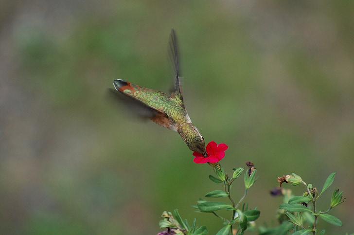 колібрі, годування, квітка, наспівуючи, птах