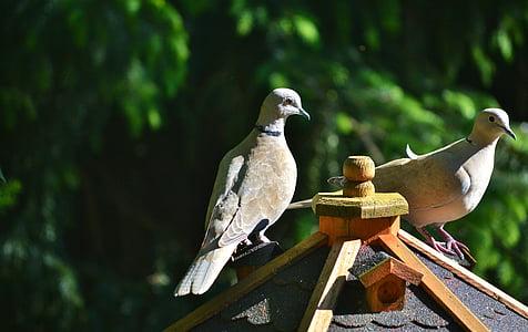 Colombe, oiseau, à collier, nature, pigeon de ville, volaille, aile