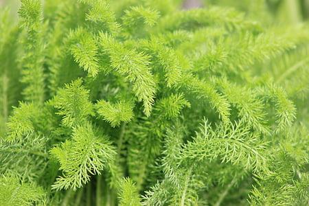 verd, Falguera, natural, natura, fulla, planta