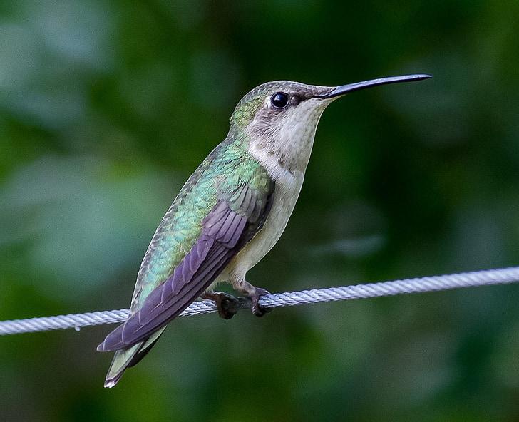 Colibrí, troquílids (Trochilidae), ocell, animal, nèctar, ploma, petit