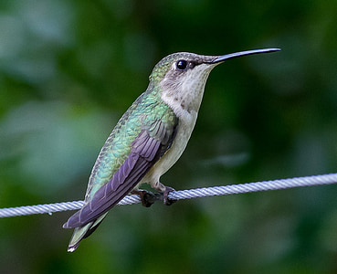 hummingbird, trochilidae, bird, animal, nectar, feather, small