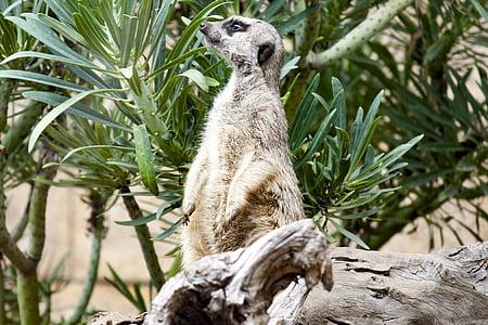 Meerkat, Zoo, tunnimees, Nunnu, eluslooduse fotograafia, looma, Wildlife