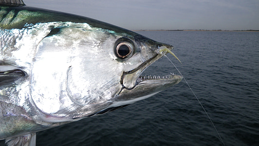 tunny, fish, fly fishing, fly, saltwater, albie, euthynnus alletteratus