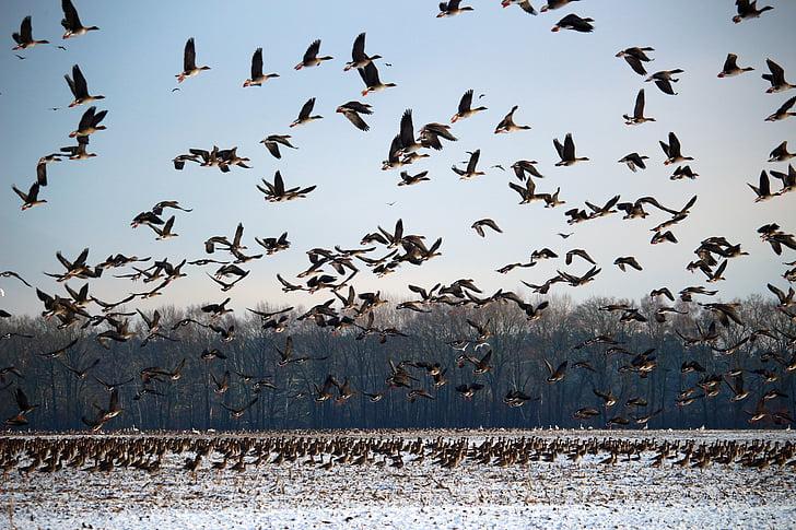 divoké husy, Zimní, sníh, stěhovaví ptáci, roj, husy, ptáci