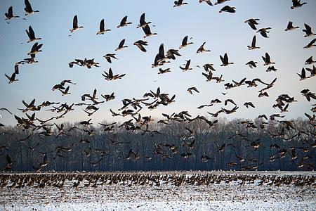 oques salvatges, l'hivern, neu, aus migratòries, eixam, oques, ocells