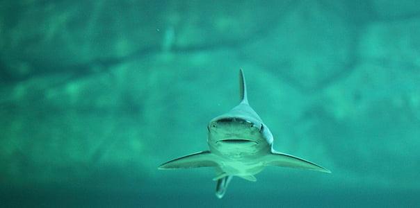 Hai, vode, more, riba, pod vodom, plava, oceana