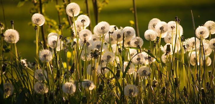dent de Lleó, torna la llum, flor punxegut, flor, natura, dent de Lleó comú, carretera