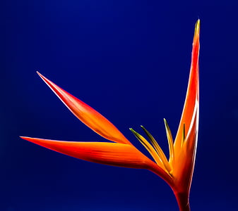 birds of paradise, bloom, blossom, caudata greenhouse, close-up, flower, macro